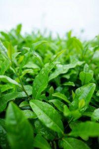 hojas de té verde matcha